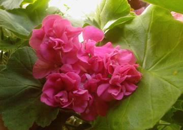 Пеларгония зональная Raspberry Dawn
