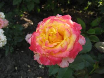 Розы цветут - Страница 2 5BDHe